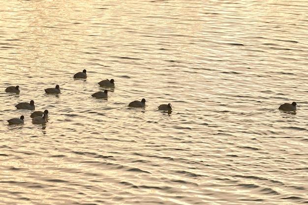 Euraziatische of australische meerkoet, fulica atra. vogels drijvend op het gladde wateroppervlak bij vervagende zonsondergang.