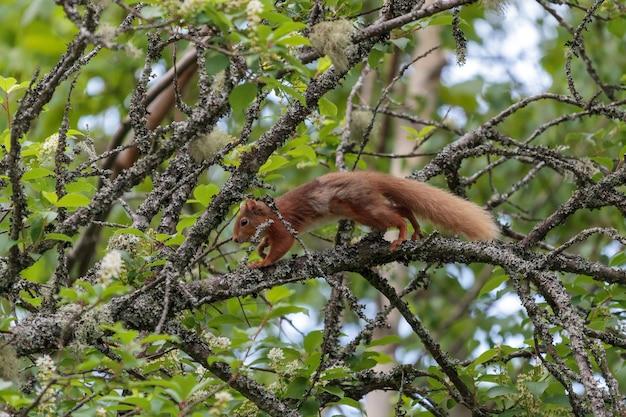 Euraziatische rode eekhoorn (sciurus vulgaris) loopt door een boom