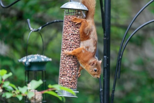 Euraziatische rode eekhoorn (sciurus vulgaris) op een vogelvoeder