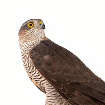 Euraziatische sparrowhawk accipiter nisus vrouw geïsoleerd op wit