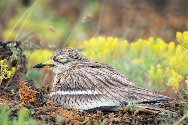 Euraziatische stenen wulp (burhinus oedicnemus) zittend op nest en slapen.