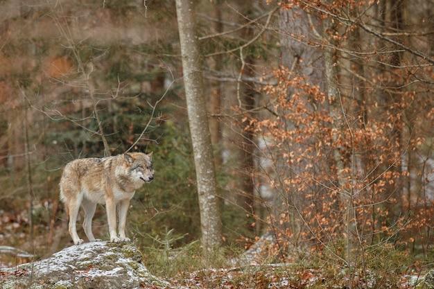 Euraziatische wolf staat in de natuurhabitat in het beierse woud