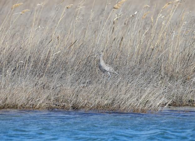 Euraziatische wulp of gewone wulp (numenius arquata) is gecamoufleerd in dicht struikgewas van droog gras aan de oever van een meer