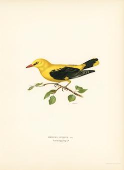 Europees-aziatisch oriole mannetje (oriolus-oriolusvogel) dat door de von wright-broers wordt geïllustreerd.