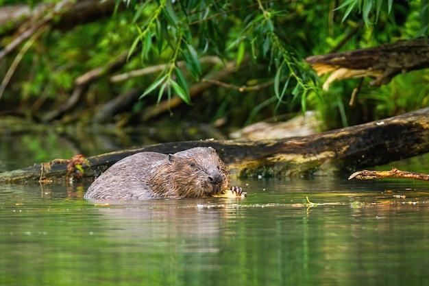 Europees-aziatische bever die en aan hout in de rivier eet knabbelt