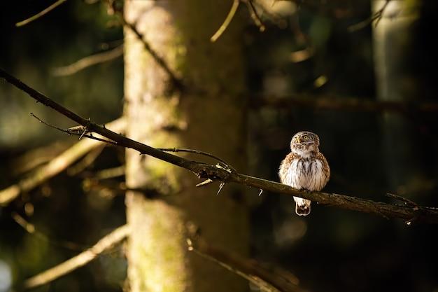 Europees-aziatische dwerguilzitting op een tak in bos bij zonsopgang
