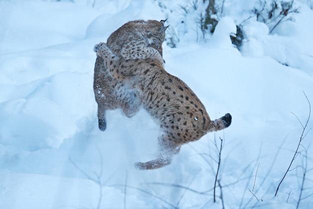 Europees-aziatische lynx in het beierse nationale park in oost-duitsland