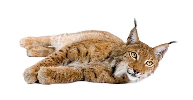 Europees-aziatische lynx, lynx lynx, die voor witte achtergrond, studioschot ligt
