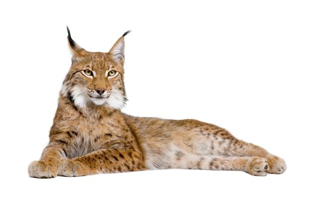 Europees-aziatische lynx - lynx lynx op een geïsoleerd wit