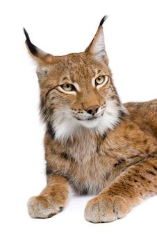 Europees-aziatische lynx, lynx lynx, zittend, studio-opname