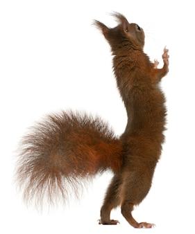 Europees-aziatische rode eekhoorn op achterpoten, sciurus vulgaris, voor witte achtergrond