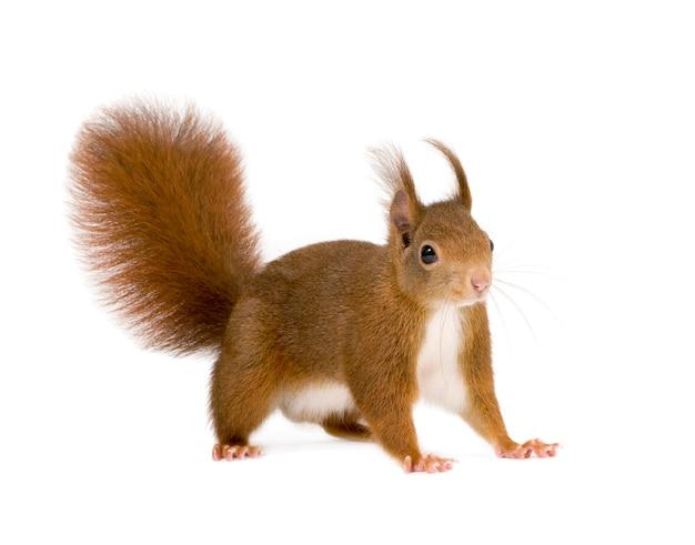 Europees-aziatische rode eekhoorn - vulgaris sciurus vooraan op een geïsoleerd wit