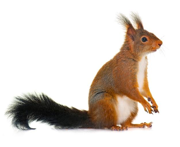 Europees-aziatische rode eekhoorn