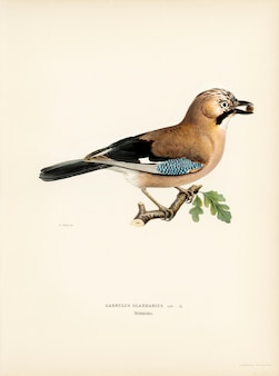 Europees-aziatische vlaamse gaai (glandarius garrulus) door de gebroeders von wright wordt geïllustreerd die.