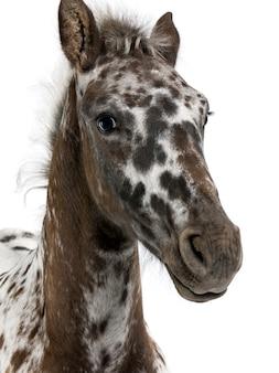 Europees veulen tussen een appaloosa en een friese staand paard