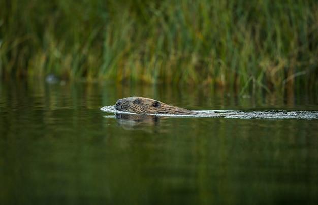 Europese bever, castor-vezel, die in een rivier zwemt