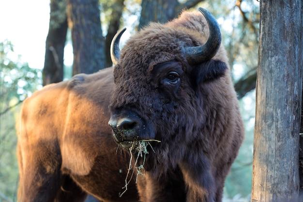 Europese bizon - bizonbonasus in het moldavische reservaat.