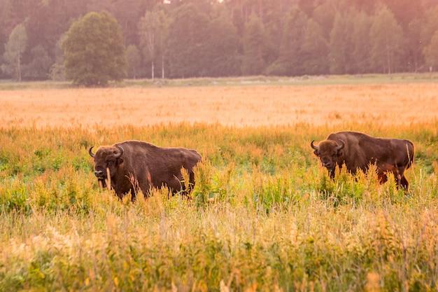 Europese bizon wit-rusland