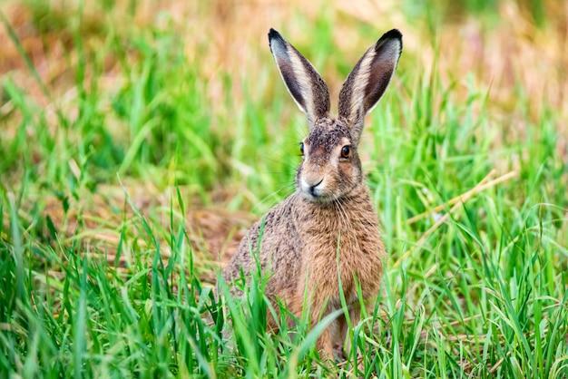 Europese haas of lepus europaeus zit in het gras