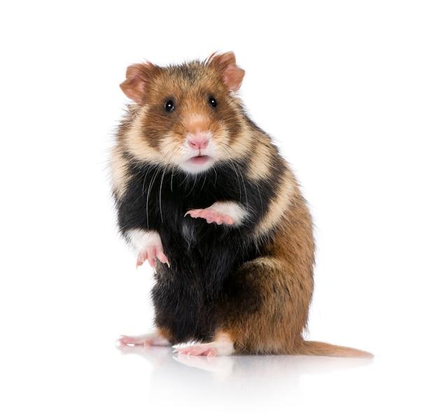 Europese hamster, cricetus cricetus, ook bekend als de zwartbuikige hamster
