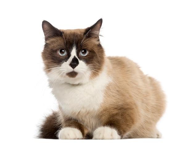 Europese korthaar kat, liegen, geïsoleerd op wit