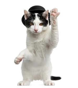 Europese korthaar kitten met hoge hoed, op achterpoten en handtastelijkheden omhoog, geïsoleerd op wit