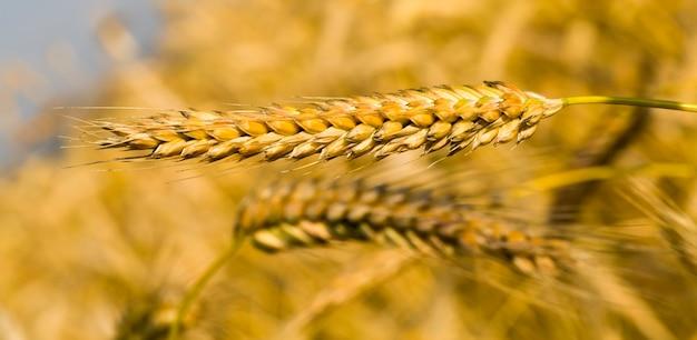 Europese landbouwvelden met mooie rijpe droge granen die rijpen voor het oogsten van graan