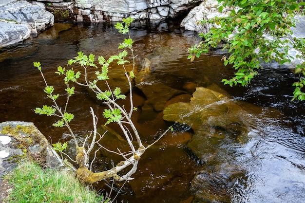 Europese lijsterbes of lijsterbes (sorbus aucuparia), in de lente aan de oever van de rivier de tay
