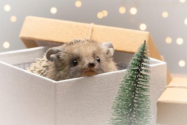 Europese nieuwsgierige egel gluurt uit geschenkdoos. kerstboomstuk speelgoed en lichten op achtergrond.