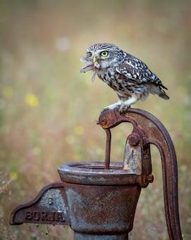 Europese owlet poseren op tak