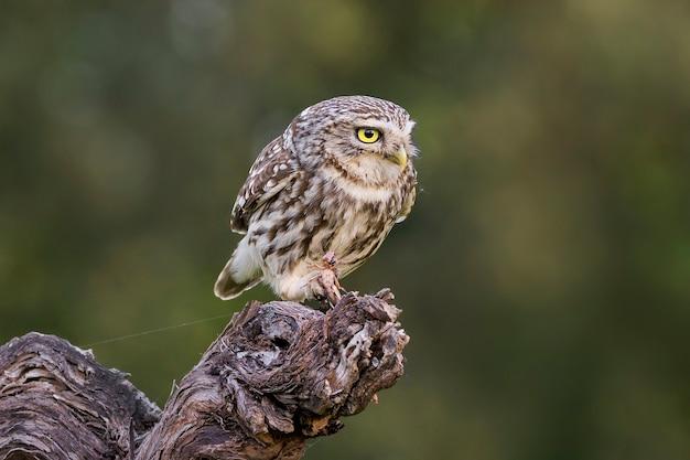 Europese owlet zat op een logboek dat een sprinkhaan eet