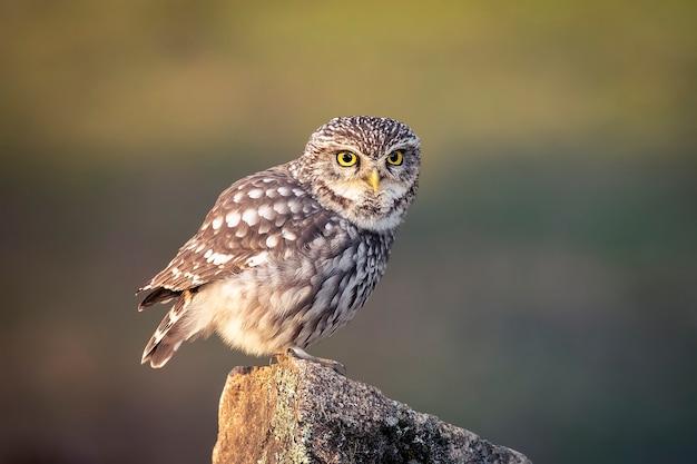 Europese owlet zat op een steen bij zonsondergang