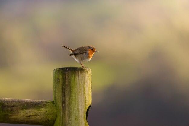 Europese robin-vogel