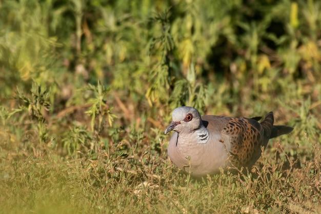 Europese turtle dove streptopelia turtur zittend gras close-up
