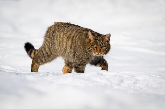 Europese wilde kat die door de sneeuw van de winterplatteland waadt