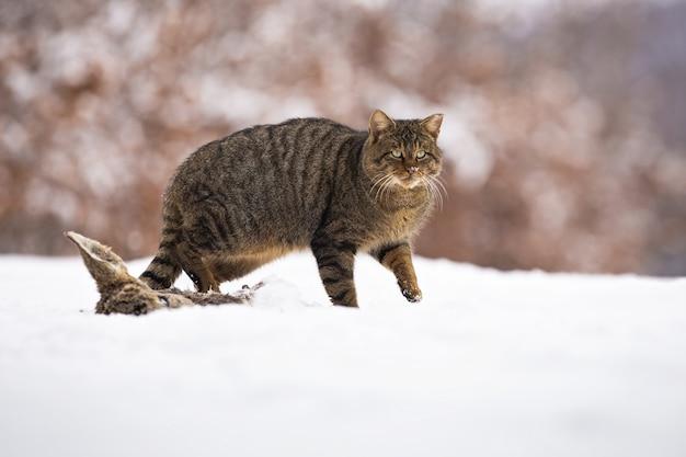 Europese wilde kat die op sneeuw in de winteraard loopt