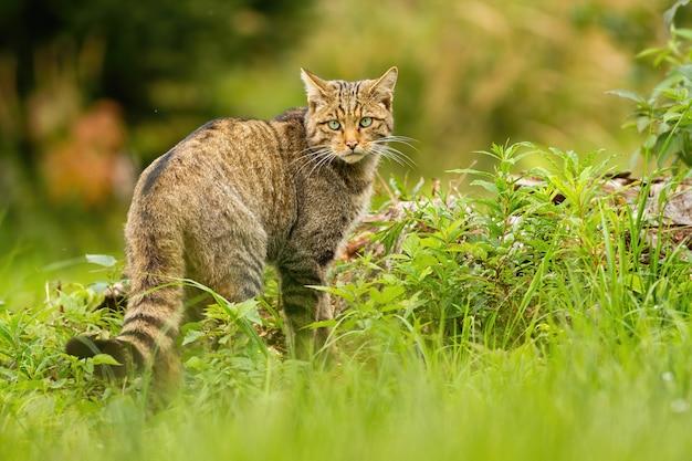 Europese wilde kat met zwarte strepen op staart die erachter in de zomer kijkt
