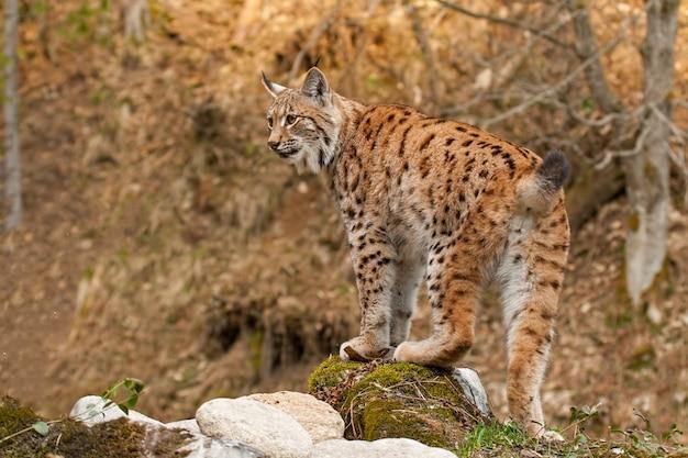 Eursian lynx die zich op een rots in de herfstbos bevindt