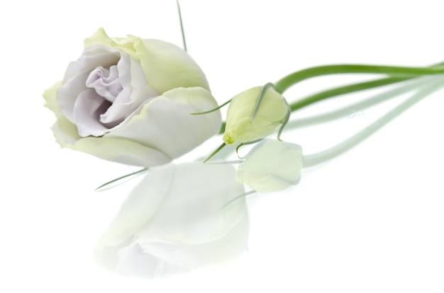 Eustoma bloem op wit
