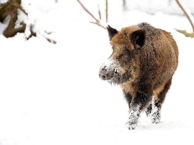 Everzwijn in de winter