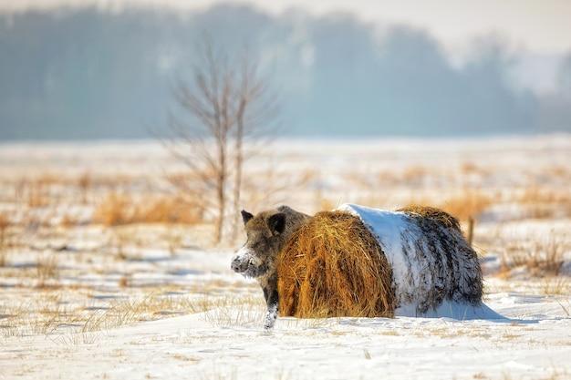 Everzwijn in de winterlandschap in de wildernis