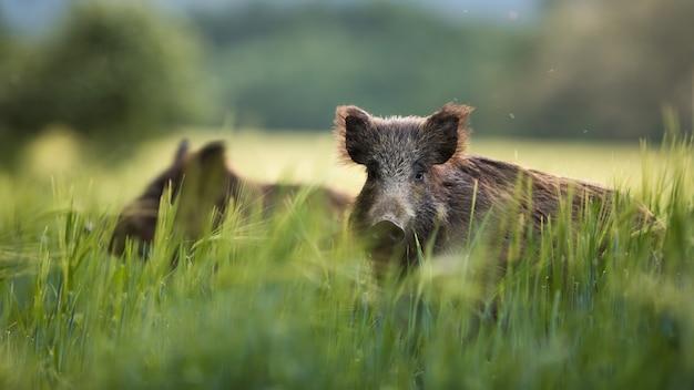 Everzwijnen die op groen korrelgebied voeden in de zomer.