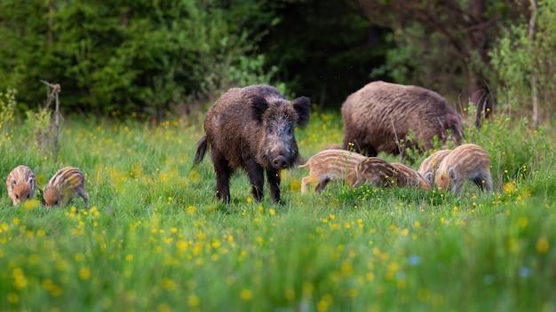 Everzwijnkudde het voeden in aard met donker bos op achtergrond.