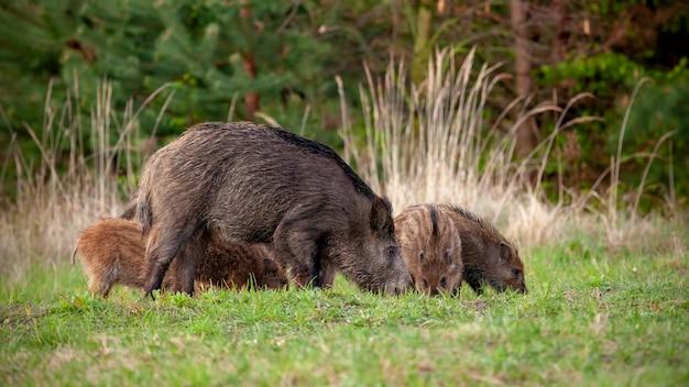 Everzwijnkudde van varken en kleine gestripte biggen die op gras in de lente voeden.