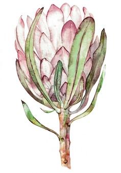 Exotische bloem. aquarel protea. hand getrokken illustratie.
