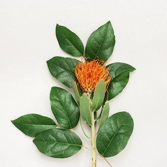 Exotische bloem leucospermum met oranje bloemblaadjes en takken met groene bladeren op licht vakantieconcept met natuurlijke bloem. bovenaanzicht en kopieer ruimte.