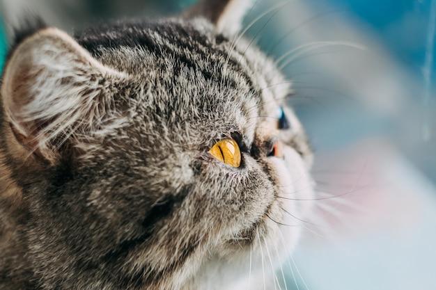 Exotische korthaar kattenras macro foto. close-up kat hoofd met oranje oog
