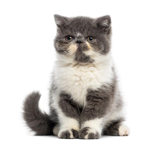 Exotische korthaar kitten voor een witte muur