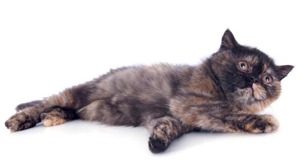 Exotische korthaar kitten