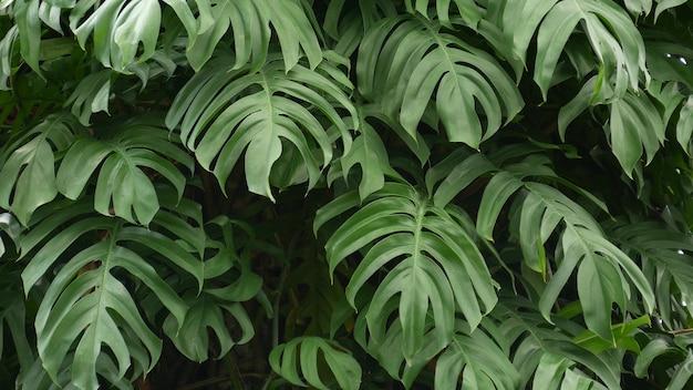 Exotische tropische monsterabladeren. weelderig gebladerte in paradijselijke tuin. donkergroen in oerwoudbos.